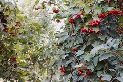 viburnum opulus strauch rote frucht stockbild bild von frucht kalina 74056375. Black Bedroom Furniture Sets. Home Design Ideas