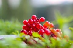 Viburnumbuske Det finns röda bär av guelder-rosen på grönt gräs royaltyfri foto