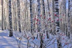 Viburnumbuske med den röda bärrimfrosten som täckas i björkskog arkivbilder