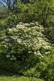 Viburnumcarlesiien är en vårblomningbuske Arkivbilder