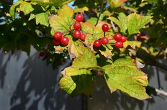 Viburnumfrucht auf dem Baum Stockfotografie
