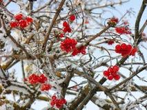 Viburnumgruppen auf Niederlassungen im Winter Lizenzfreies Stockbild