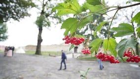 Viburnumopulus, Guelder ros, vattenfläder, filial med röda bär i bris Moget rött Guelder för rosa Viburnumopulus arkivfilmer