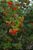 Viburnumstruik met bossen van rode bessen, struik of kleine bomen stock foto's