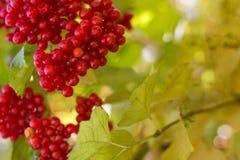 Viburnumstruik, met rijpe clusters van viburnumbessen stock foto