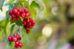 Viburnumstruik, met rijpe clusters van viburnumbessen royalty-vrije stock foto's