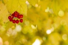 Viburnumstruik, met rijpe clusters van viburnumbessen royalty-vrije stock fotografie