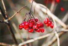 Viburnumväxt utomhus fotografering för bildbyråer