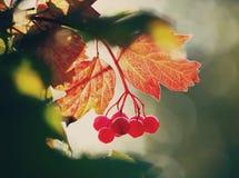 Viburnumväxt utomhus i solljus royaltyfria bilder