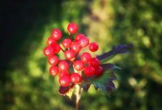 Viburnumväxt utomhus i solljus arkivbilder