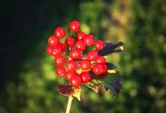 Viburnumväxt utomhus i solljus fotografering för bildbyråer