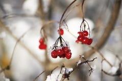 Viburnumväxt utomhus på vintern arkivbild