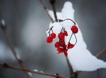 Viburnumväxt utomhus på vintern arkivfoton