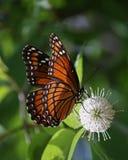 Vicekonungfjäril som pollinerar den knappBush blomman Arkivbild