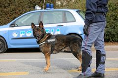 Vicence, VI, Italie - 28 janvier 2017 : La police de berger allemand fait Photos libres de droits