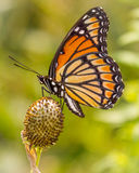 Viceroy Alight on Seed Pod in Illinois Royalty Free Stock Images
