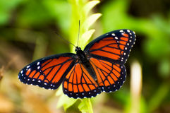 Viceroy Butterfly Stock Image