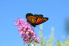 Free Viceroy Butterfly Royalty Free Stock Images - 15804089