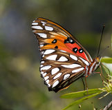 Viceroy Butterfly. Photographed butterfly in its natural habitat.  Lens 100mm macro Royalty Free Stock Photo