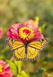Viceroy butterfly on a bright pink Zinnia stock image