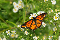Viceroy Butterfly Stock Photography