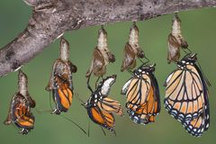 Viceroy butterfly emerging. A viceroy butterfly is shown emerging from it's chrysalis in five shots merged together Stock Photos