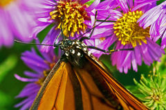 Viceroy Butterfly Feeding Stock Image