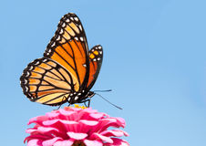 Viceroy butterfly feeding on a bright pink Zinnia Stock Photo