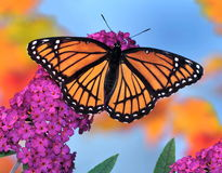 Viceroy Butterfly (Limenitis archippus) Stock Image
