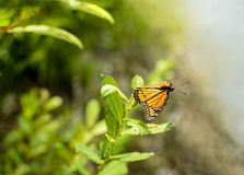 Viceroy Butterfly Limenitis archippus Stock Photography