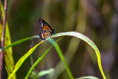 Viceroy Butterfly, Limenitis archippus Royalty Free Stock Image