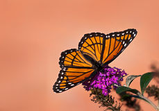 Viceroy butterfly (Limenitis archippus) feeding on butterfly bush Royalty Free Stock Photography