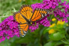 Viceroy Butterfly - Limenitis archippus. Viceroy Butterfly collecting nectar from a purple Butterfly Bush flower. Rosetta McClain Gardens, Toronto, Ontario stock photography