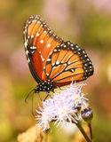 A Viceroy Butterfly, a Monarch Mimic. Feeds on a Wildflower stock images