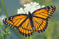 Viceroy Butterfly Stock Images