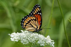 Viceroy Butterfly on Queen Anne`s Lace