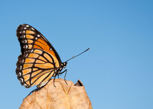 Viceroy butterfly resting on a dry leaf Stock Photography