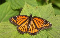 Viceroy butterfly resting on a Painted Nettle Royalty Free Stock Image
