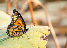 Viceroy butterfly resting on a Waterlily leaf Royalty Free Stock Images