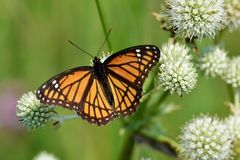 Viceroy butterfly sipping nectar from a  rattlesnake master Stock Photo