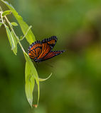 Viceroy Butterfly on Willow Tree Royalty Free Stock Photo