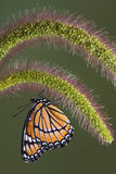 Viceroy on foxtail Stock Photography