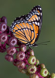 Viceroy on pokeweed Royalty Free Stock Photo