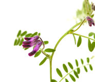 Vicia benghalensis Royalty Free Stock Photo