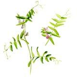Vicia cracca Aquarellblumen Getrennte Abbildung auf weißem Hintergrund Stockbild