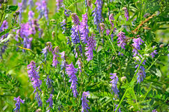 Vicia cracca flowers Stock Image