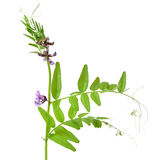 Vicia sepium flower Stock Image