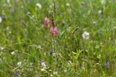 Viciifoliaen för Onobrychis för ängblommaSainfoin växer i ett fält på en grön bakgrund av diverse örter arkivbilder