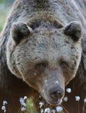 Vicino all'orso marrone Immagine Stock Libera da Diritti
