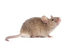 Vicino del mouse in su isolato su bianco fotografie stock